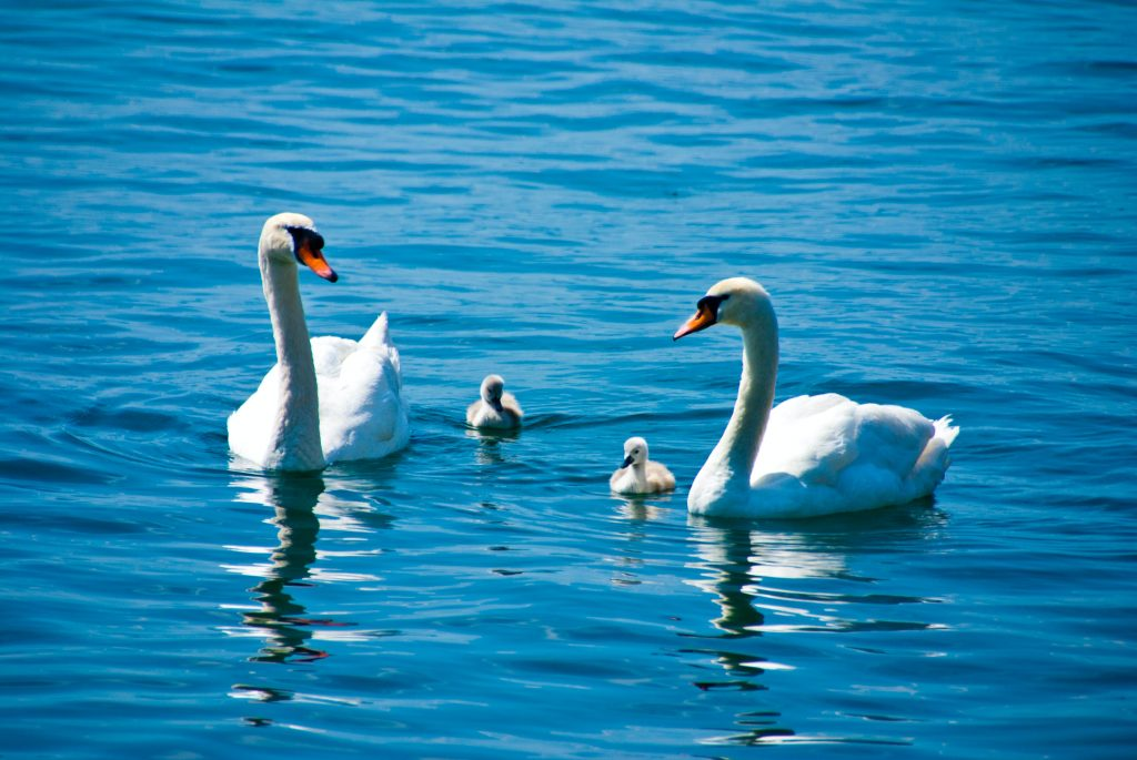 ducks and swans